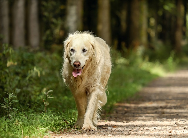 golden-retriever-2701033_640.jpg